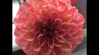#Pretty #Marigold #flowers #Williamsburg #visitva #virginialiving #visitvirginia #LoveVA #igers_vi