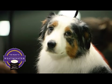 Best of Breed Minute: Australian Shepherd