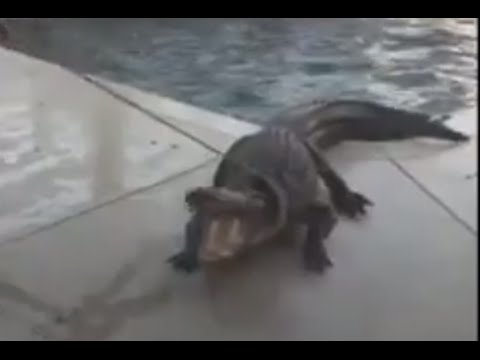 9-Foot Alligator Found in Florida Swimming Pool [RAW VIDEO]