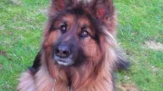 Long Haired German Shepherd-thor At 2-shows Teeth-excited Dog