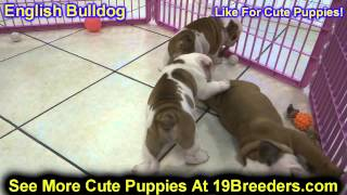 English Bulldog, Puppies, For, Sale, In, Clifton, New Jersey, Nj, Morris, Passaic, Camden, Union, Oc