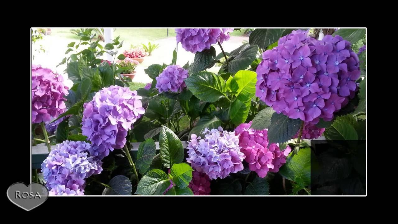 Fiori Di Ortensia Secchi fioritura ortensie