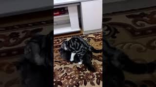 Вязка шотландских котиков