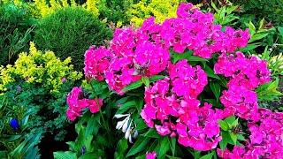 ЦВЕТЫ ФЛОКСЫ в моем САДУ! Какие флоксы цветут в конце июля/PHLOX FLOWERS in my GARDEN!