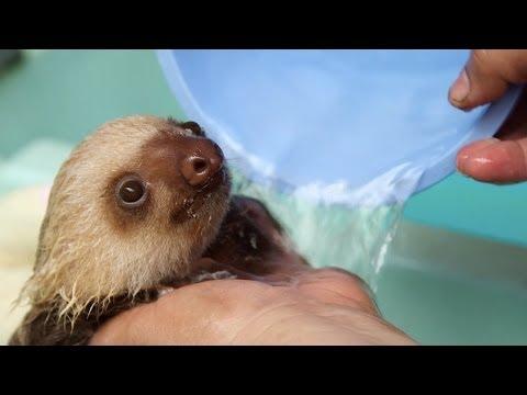 Pet Corner - How a Sloth Gets a Bath