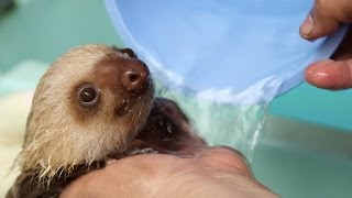 How a Sloth Gets a Bath