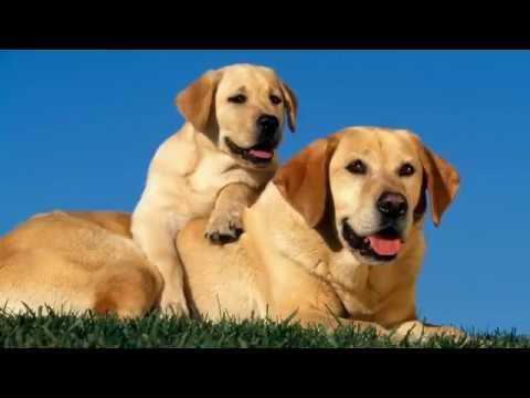Labrador Retriever - mid-size dog breed information