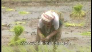 Women planting rice paddies in India