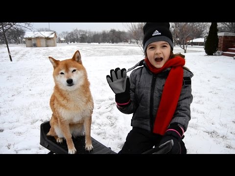 Shiba Inu goes sledding