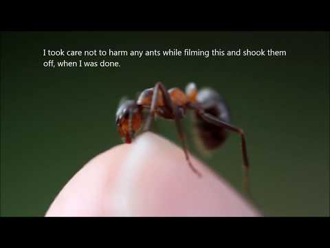 Red Ant Bite In Ultra Closeup