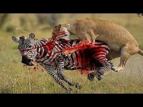 African animals: The Lion Mating, Wild animals - 2016 - YouTube