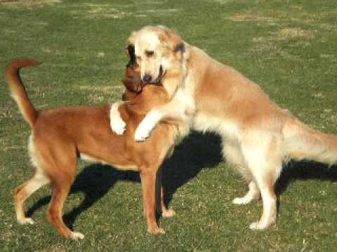Image result for golden retriever and boxer friends
