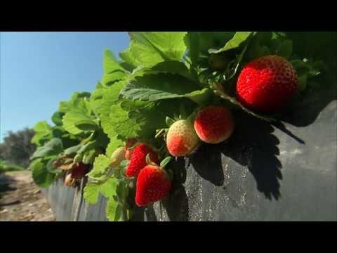 Strawberries - Growing