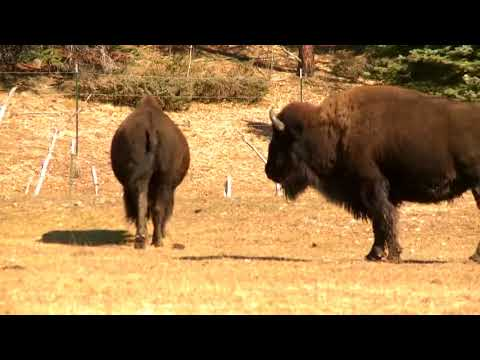 NPS to have skilled shooters will thin Grand Canyon bison herd