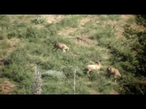 Large Velvet Two Point Mule Deer Digiscope Video