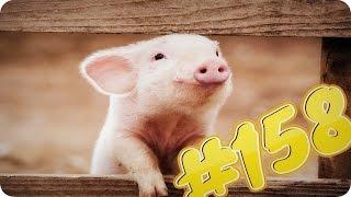 Приколы с животными №158   Маленький поросенок хрюкает  Свинюшка  Смешные животные  Animal videos