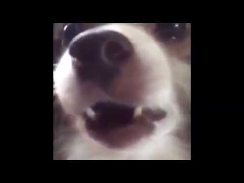 Собака говорит: 'Аф (Ав)'