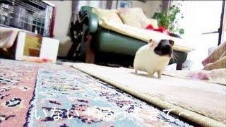 人がいなくなると呼ぶモルモットチョコ guinea pig I miss you!