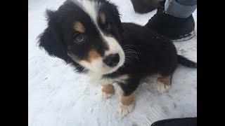 Puppy Project  border collie/Australian shepherd puppies in Norway