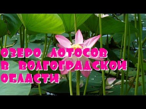Озеро Лотосов В Волгоградской Области🌷