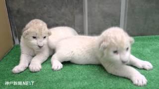 姫路市豊富町の姫路セントラルパークでホワイトライオンの赤ちゃんがす...