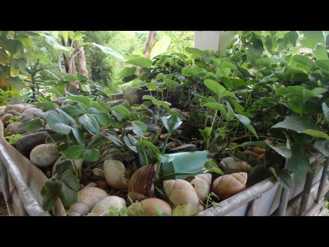 WGI on Aquaponics farming in Uganda News clip from UBC radio