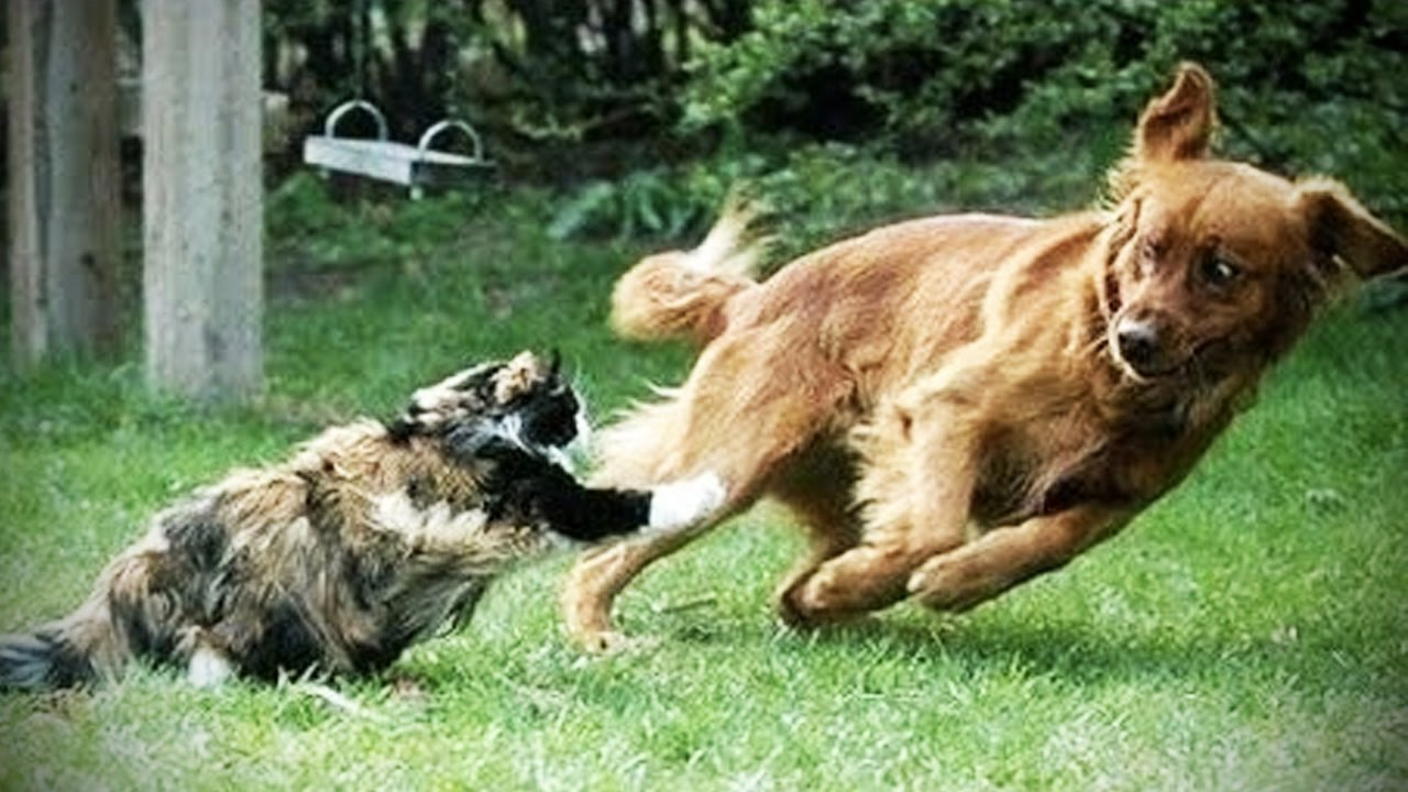 Cat Chasing Scared Dog