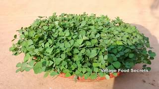 How to Grow Fenugreek | Methi at Home | Kasoori Methi | Fenugreek leaves | Village Food Secrets