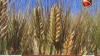 গমের ব্লাষ্ট ( Wheat blast ) রোগের জীবানু ধানে আক্রমণ করে না