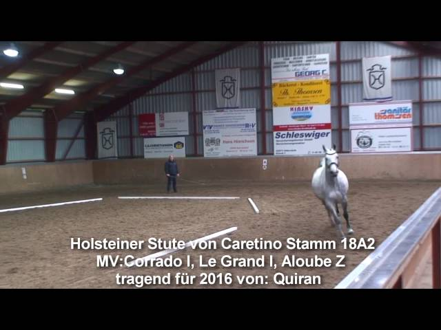 Holstein mare by Caretino in foal to Quiran Stamm 18A2