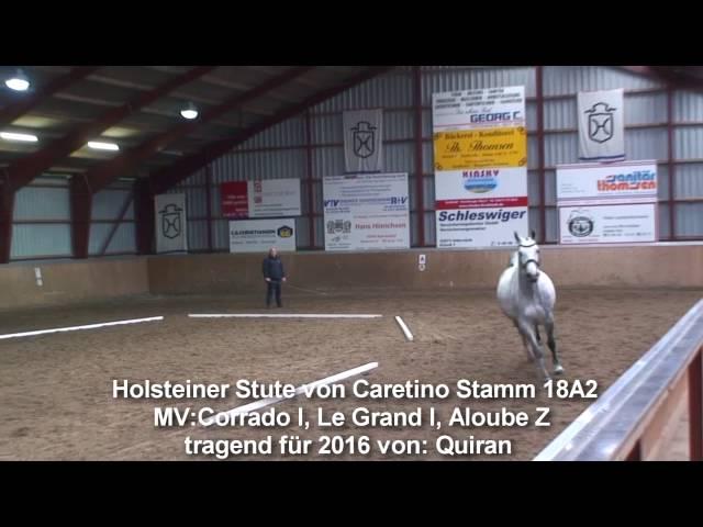 Yegua Holstein de Caretino en el potro de Quiran Stamm 18A2