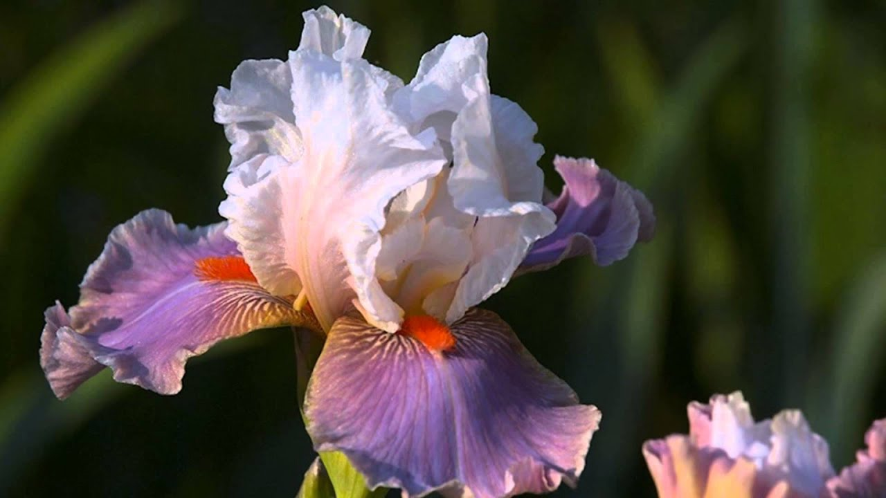 Iris Flowers Hd1080p Youtube