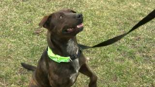 Jessie, Australian Cattle Dog Mix For Adoption In Indiana