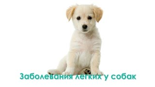 Заболевание легких у собак. Ветеринарная клиника Био-Вет.