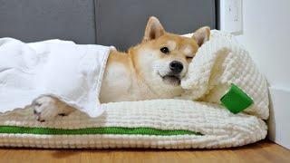 My Shiba Inu's Morning Routine
