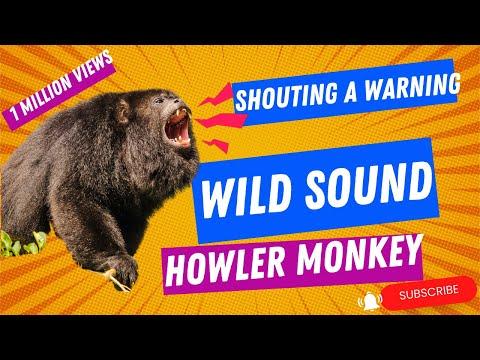 The Sound of Wild Howler Monkeys - Location: Montezuma, Costa Rica