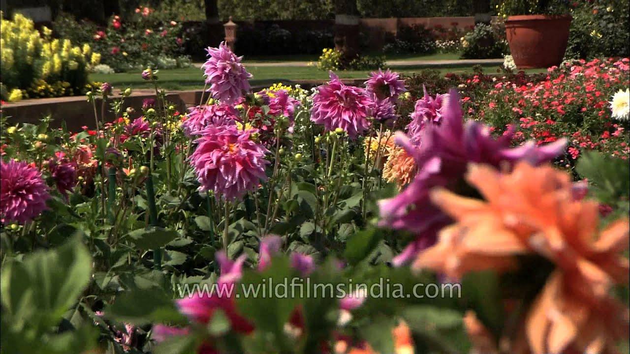 Colourful Dahlia Flower In Indian Presidents Garden Youtube