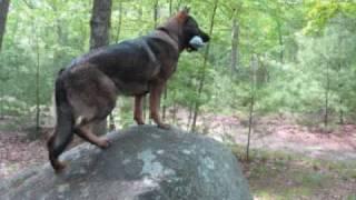 9.5 Month Old Sable German Shepherd