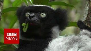Crisis in Madagascar: Sapphires and Lemurs - BBC News