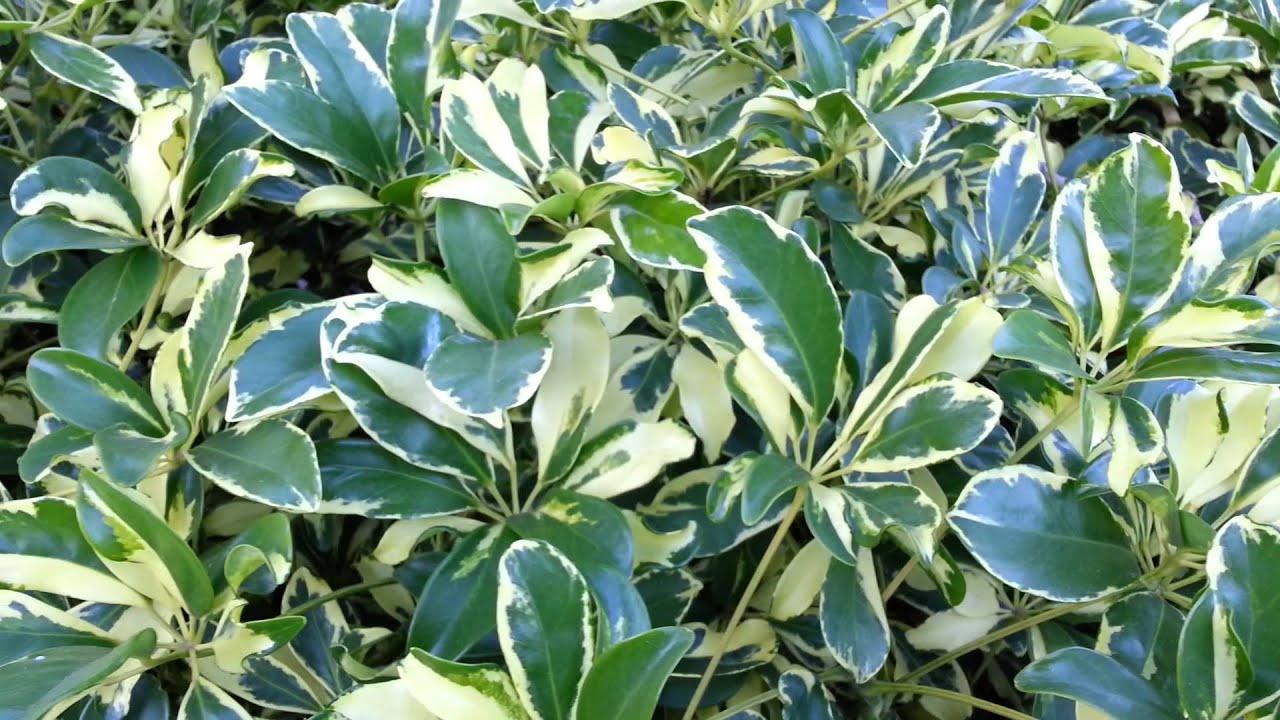 Schefflera arboricola variegated dwarf umbrela tree hd - Schefflera variegata ...