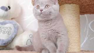 британский лиловый котенок Tor of Royal Candy Cats