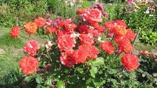Розы будут цвести всё лето, если посадить именно так!