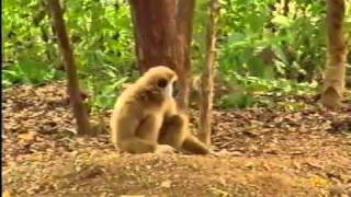 Tiger and Monkey Fight Funny Funny Videos