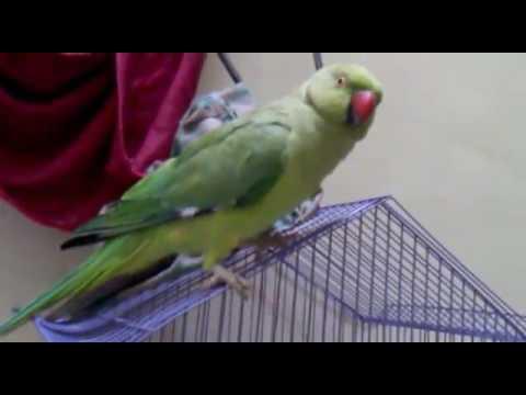 Female parrot voice