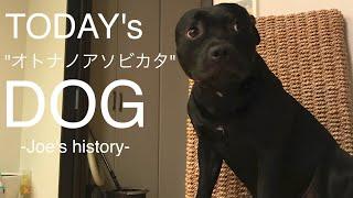 家で飼っている「じょうじ」です。犬種は「闘犬」ですが月1回吠えるか...