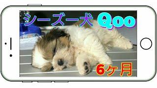 主演☆シーズー犬 Qoo , ハムスター 力士 おすすめ動画→ https://youtu.b...