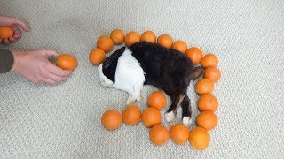 Waking A Sleeping Rabbit By Surrounding Him With Oranges