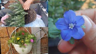 Reproduciendo Plantas con Metodo Facil y Rescatando Portulacas con Cochinilla Algodonosa #jardineria