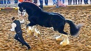 Породы лошадей. Шайр. Порода лошадей Шайр. Красивые лошади(Автор: Александра Лихачёва. http://positivecreativ.ru Породы лошадей. Шайр. Порода лошадей Шайр. Красивые лошади. Богаты..., 2015-04-07T10:46:01.000Z)