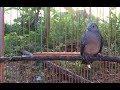 Langsung Nyaut Pancingan Burung Perkutut Lokal Ampuh  Nyaut  Mp3 - Mp4 Download